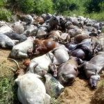 300 cows rustled and slaughtered as one person is killed in Plateau