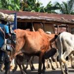 If Lagos passes anti-grazing bill, a cow may cost N2m – Miyetti Allah